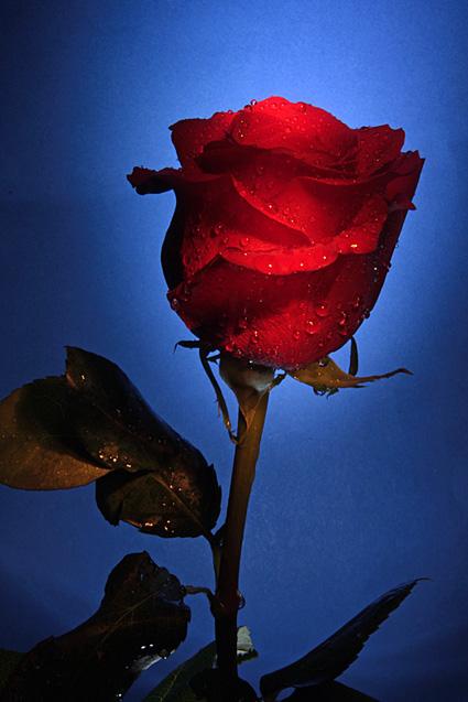 rosa spine come cicatrici