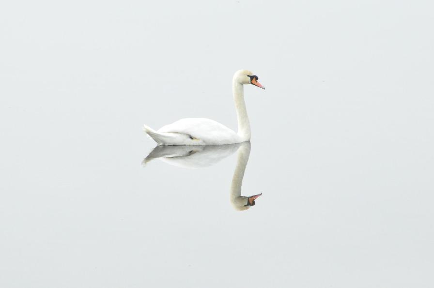 swan-293157_1920